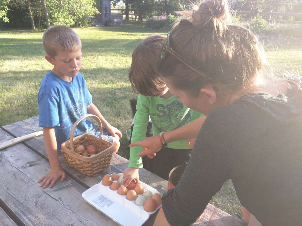 Collecting fresh eggs, right from the hen house at Trail's End Beef.